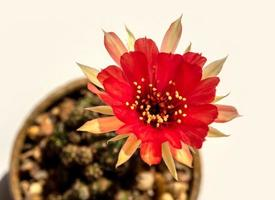 Red color delicate petal with fluffy hairy of Echinopsis Cactus flower photo
