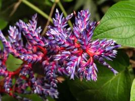 Aechmea blue tango bromeliad blue and red plant,Beautiful purple photo