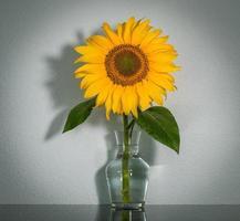 Girasol en un jarrón transparente sobre un estante oscuro, fondo blanco. foto