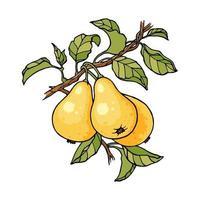 Pear tree branch color sketch engraving vector illustration. Scratch