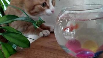 Cat and fish. Ginger kitten watch out for the goldfish swimming video