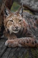 Eurasian lynx on log photo