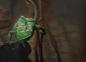 Panther chameleonon branch photo