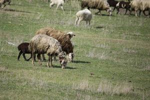 herd of sheep in the field photo