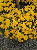 flor de gema mandarina foto