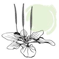 Plantain plant. The sketch is hand-drawn in ink with an abstract spot. vector