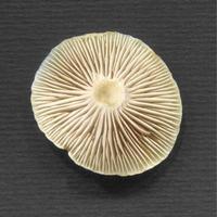 Mushroom bottom view photo