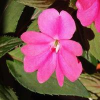 Impatiens New Guinea flower photo