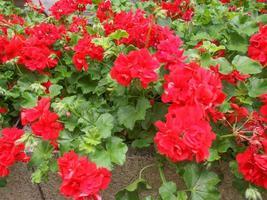 Red Geranium flower photo