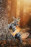 Siberian tiger Panthera tigris altaica detail portrait photo