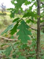 Hoja verde tallada en una rama de roble joven foto