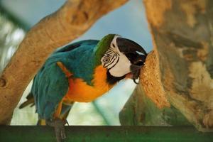 Loro guacamayo que vive en el zoológico, pájaro azul y amarillo en la rama de madera foto