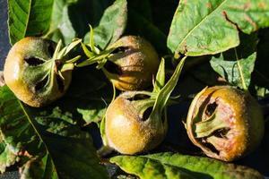 Mespilus germanica apple photo