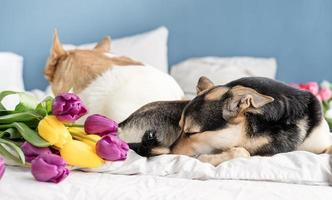 Cute dog lying on the bed with a bouquet of tulips photo