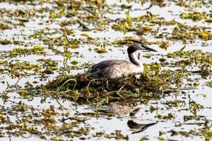 podiceps cristatus duck that has made its nest in the lake photo