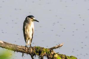 pájaro garza nocturna coronado negro sentado en una rama foto