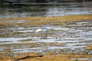 pájaro garza en el lago en busca de presas foto