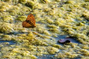argynnis paphia butterfly sitting in the lake photo