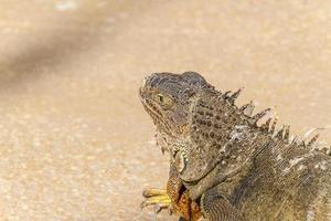 iguana en río de janeiro foto