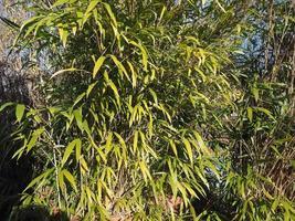fondo de arbol de bambu foto