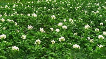 Small inflorescences of potatoes photo