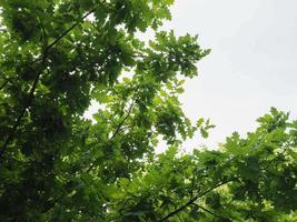 árbol de roble, árbol joven de Quercus robur foto
