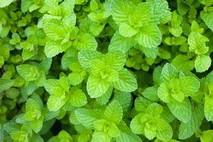 Green peppermint leaves in the vegetable garden. herbal photo