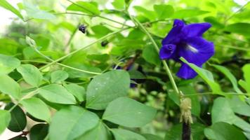 Slow-motion butterfly pea plants, pan from left to defocused video