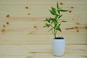 kariyat en maceta hierbas medicinales tailandesas foto