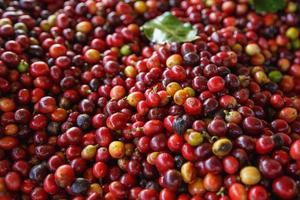 Close up of fresh red raw coffee beans photo