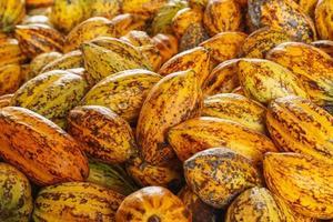 mazorcas de cacao mazorcas de cacao granja de chocolate orgánico en la fábrica foto