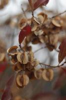 semillas de bushwillow rojizo foto