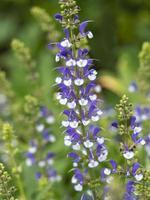 Espiga de flor azul y blanca de salvia farinacea foto