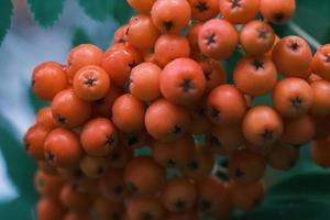 Manojo de bayas rojas de serbal macro en la rama de un árbol en el jardín de otoño foto
