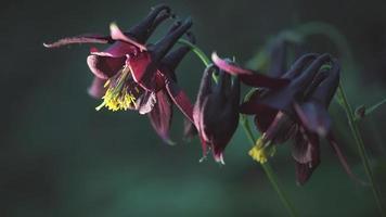 flor de aquilegia atrata video