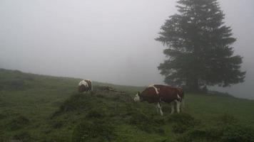 cow eating grass on hill video