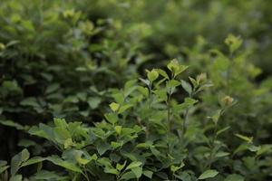 Seto de pared de hojas verdes como fondo foto