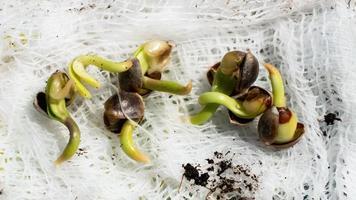 germinación de semillas de cannabis, brotan pequeñas raíces de grano de marihuana. foto