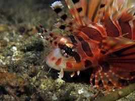 Dangerous Lionfish in the sea. photo