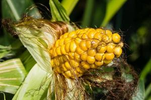 The corn disease photo