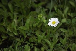 flor de margarita en la hierba foto