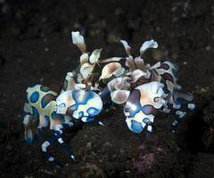 camarones arlequín sobre una estrella de mar. foto