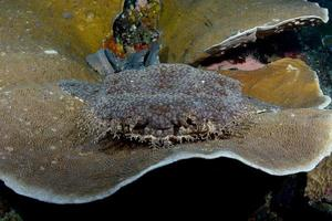 A carpet shark is resting on a hard coral. photo