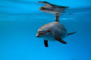 A group of dolphins in the Red Sea. photo