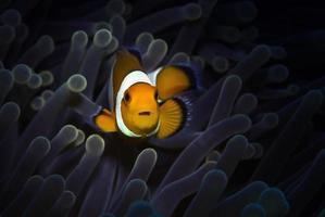 Clownfish. Amazing underwater world. photo