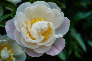 la leche blanca pentecostés rosa paeonia lactiflora foto