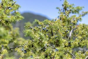 Bunch of juniper berries on a green branch in autumn photo