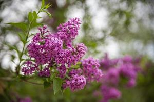 Beautiful Branch of Spring Lilac close-up, selective focus photo