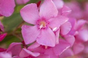 Adelfa rosa claro ramo de flores de cerca foto