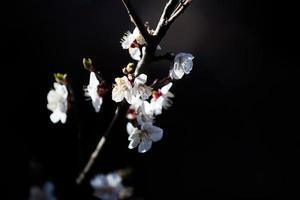 Apricot tree flower photo